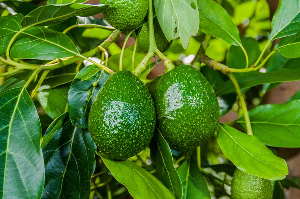 Two avocados hanging from a tree.