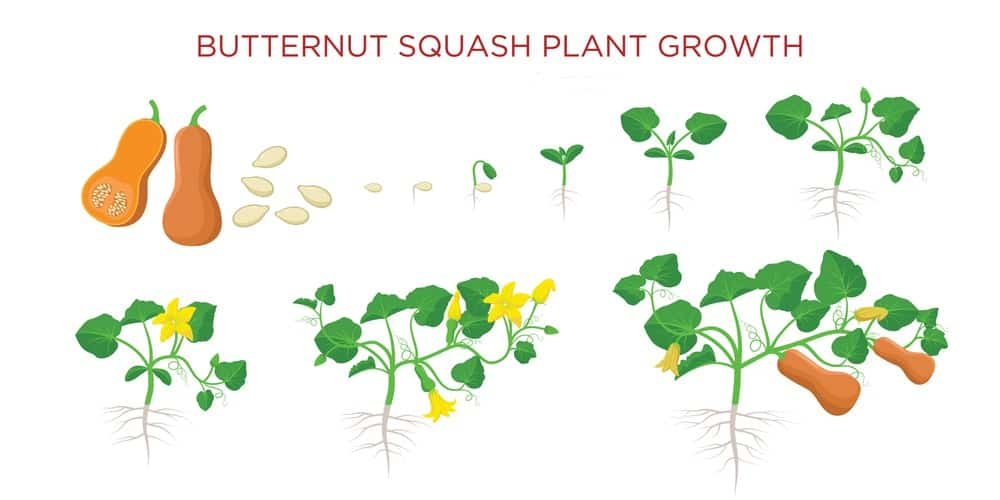 A graphic that shows all of the growth stages of a butternut squash from seed to harvest.