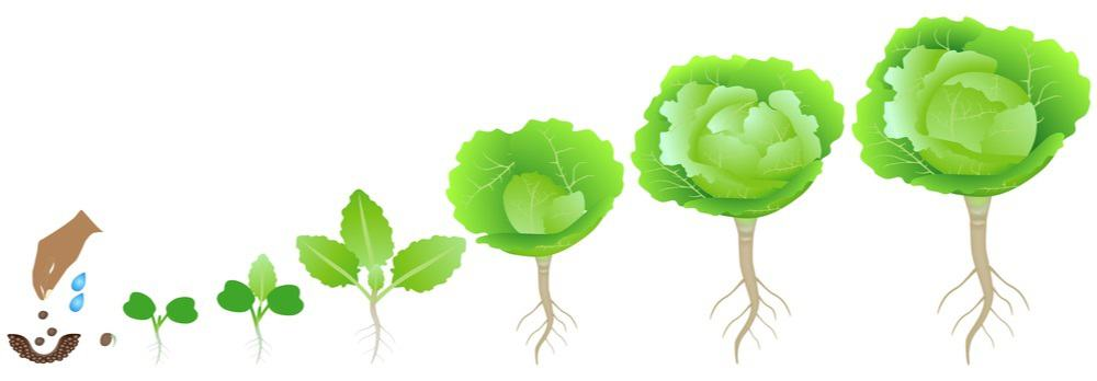 The stages of cabbage growth