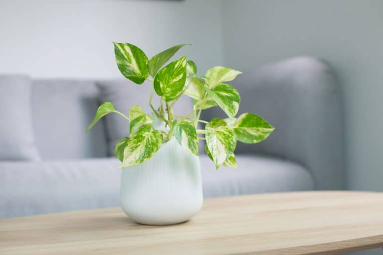 The full Golden Pothos Care Guide. These are some of the bets houseplants to have!