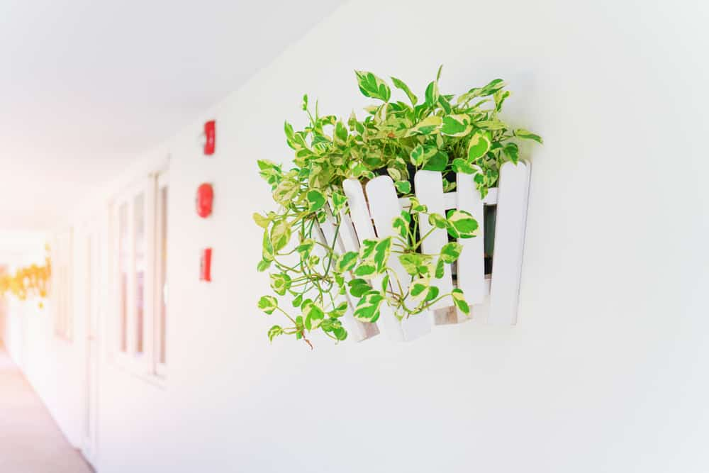 Golden Pothos plants are easy to grow in many locations including from hanging pots and planters.
