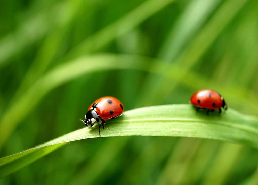 Lady Bugs are a natural enemy to mealybugs!