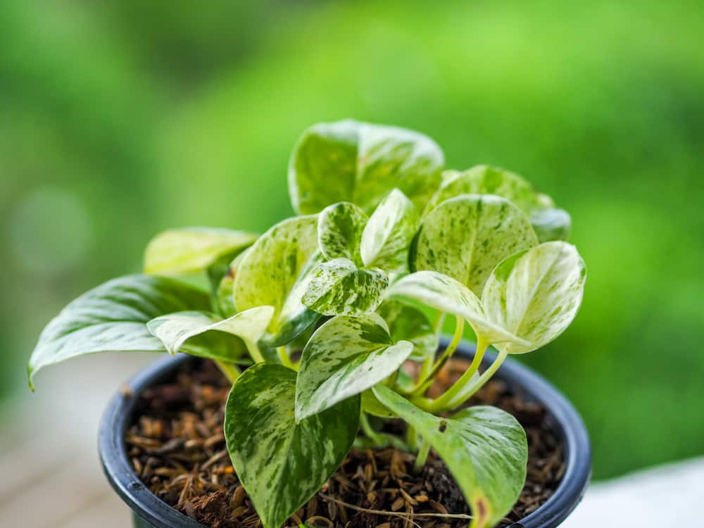 Golden Pothos plants do well in pots, but if they get to large you may have to repot them.