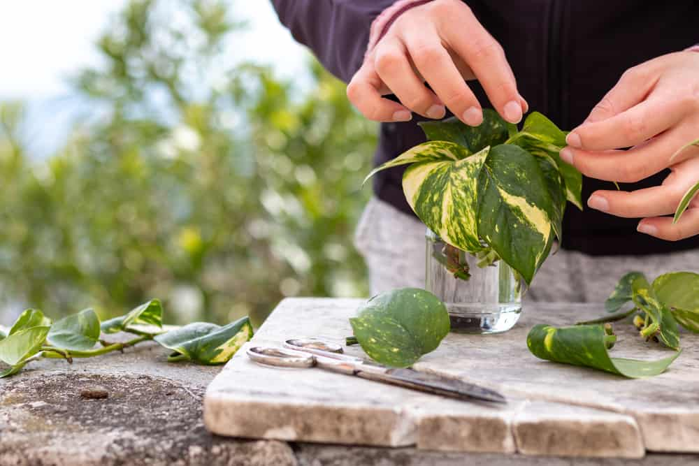 Pruning the golden pothos plant is key in making sure the plant stays healthy and free of pests.