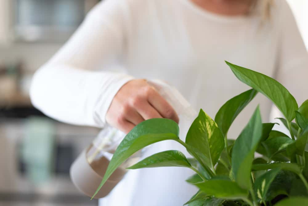 Humidity is a friend of the Golden Pothos plant.
