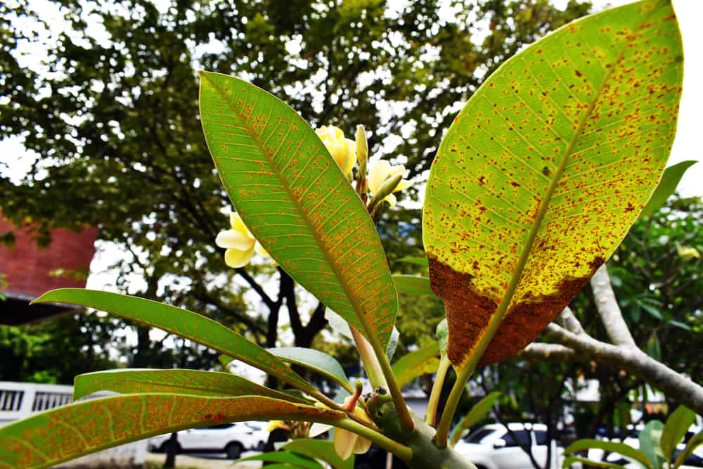 Plumeria rust is a disease caused by a rust fungus. The fungus grows and creates spores to help it spread around the Plumeria and another nearby plants