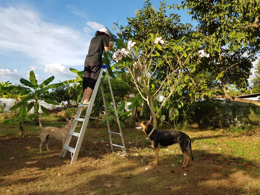 A women trimming her plumeria tree while her dog watches. What do I do if my dog eats the plumeria leaves, flower, of brake. He is safe or is the plumeria toxic to dogs.