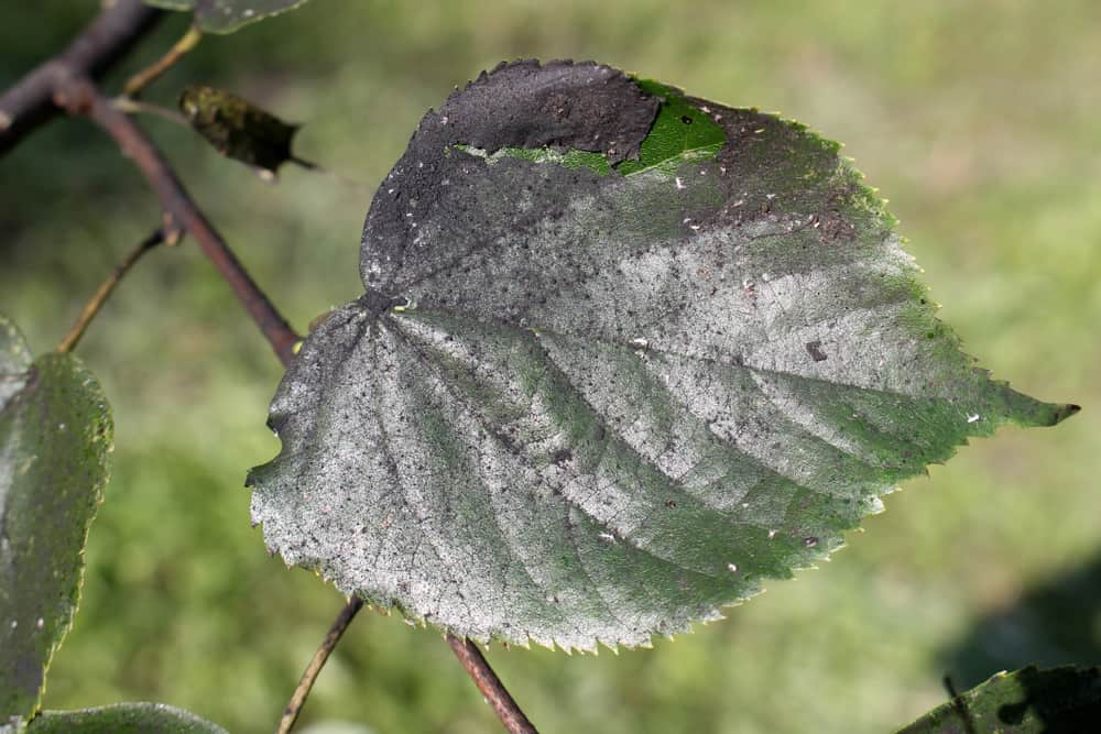 A leaf with sooty mold. When a plant has sooty mold, you'll notice that the leaves have a black covering ont hem