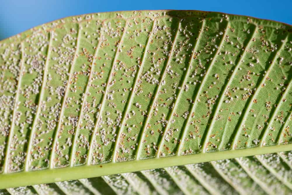 A plumeria leaf with a lot of mealybugs. Ants will protect these mealybugs as they are a source of honeydew for the ants.